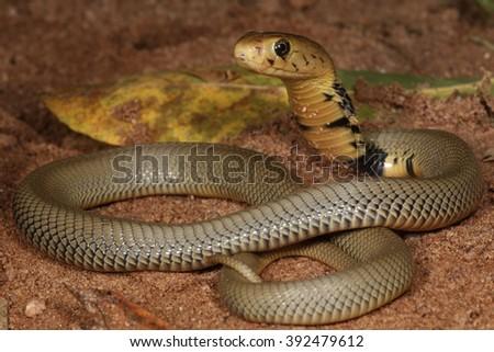 Juvenile Mozambique Spitting Cobra  - stock photo
