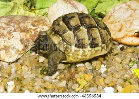 juvenile of greek turtle on sand - stock photo