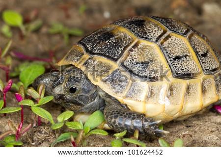 juvenile of spur-thighed turtle / Testudo graeca ibera - stock photo