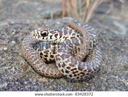 Juvenile Of The Dimorphic Eastern Yellow Bellied Racer Coluber Constrictor Flaviventris