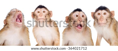 Juvenile Pig-tailed Macaque, Macaca nemestrina, isolated on white - stock photo