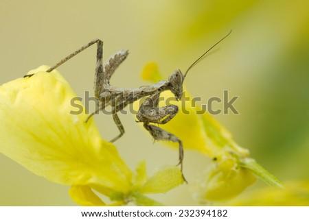 Juvenile Praying Mantis - stock photo