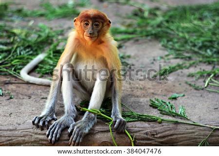 Juvenile proboscis monkey in Sabah Borneo, Malaysia - stock photo