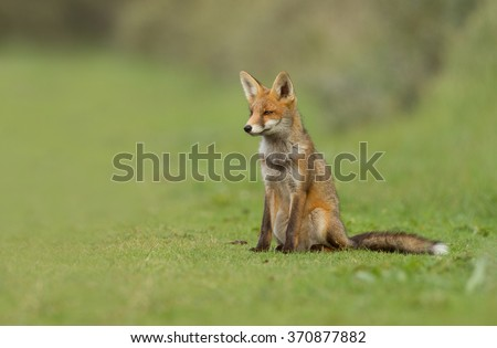 Juvenile red fox sits in green grass - stock photo
