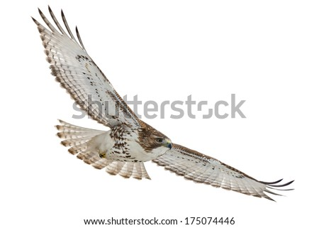 Juvenile Red-tailed Hawk flying across an open sky. - stock photo