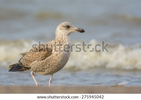 Juvenile seagull (Laridae) at the beach.