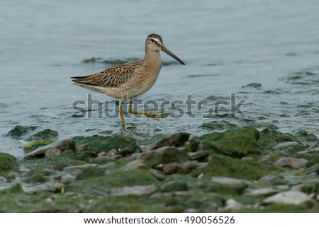 Juvenile Short-billed Dowitcher wading in the shallow water.