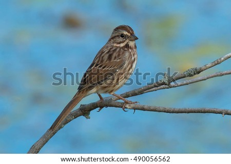 Juvenile Song Sparrow perched on a branch.