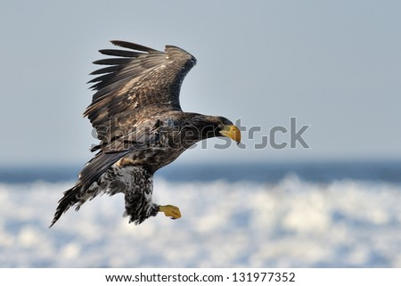 Juvenile Steller's Sea Eagle flying with pack ice in background.. - stock photo