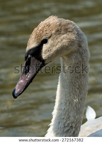 Juvenile Swan - stock photo