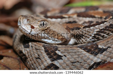 Juvenile Timber Rattlesnake (Crotalus horridus) closeup - stock photo