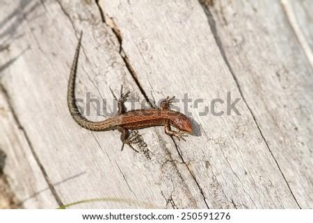 juvenile viviparous lizard ( Lacerta vivipara ) basking on wooden stump - stock photo