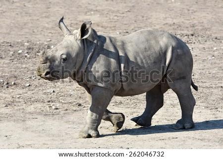 Juvenile White Rhinoceros (Ceratotherium simum) walking on the dry ground in its habitat - stock photo