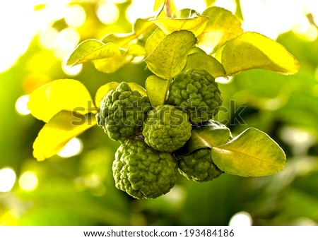 Kaffir lime in a grove - stock photo