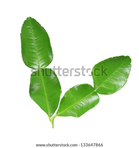 Kaffir lime leaf isolated on white background - stock photo