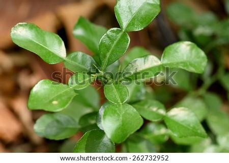 kaffir lime leaf on trees - Kaffir Lime Tree