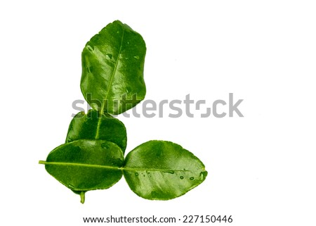Kaffir lime leaves  isolated on a white background - stock photo