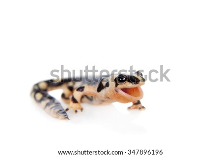 Kaiser's spotted newt, Neurergus kaiseri, isolated on white background - stock photo
