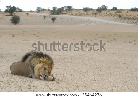 Kalahari desert Landscape with male lion (Panthera leo) sleeping in foreground. Kamqua, Kgalagadi trans-frontier park - stock photo