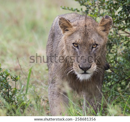 Kalahari Lion - stock photo