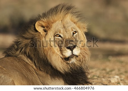 Kalahari Lion, Panthera leo, black-maned male, Kalahari desert, South Africa