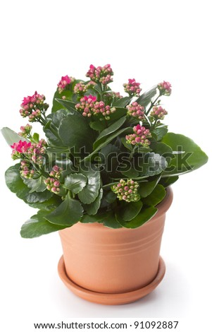 Kalanchoe house plant in flower pot - stock photo