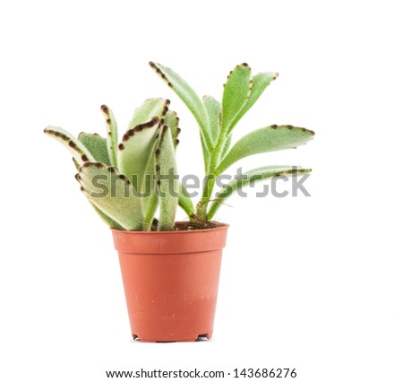 Kalanchoe tomentosa : a kind of succulents in plastic pot - stock photo