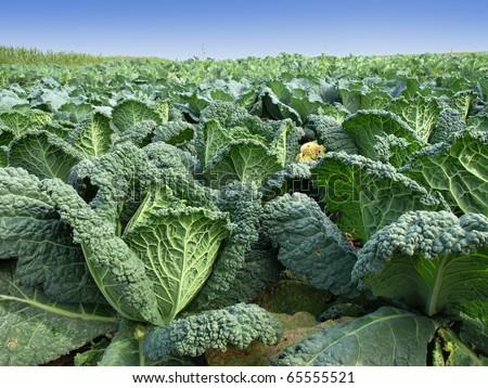 kale field - stock photo