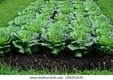 Kale.organic farm.vegetable.green - stock photo