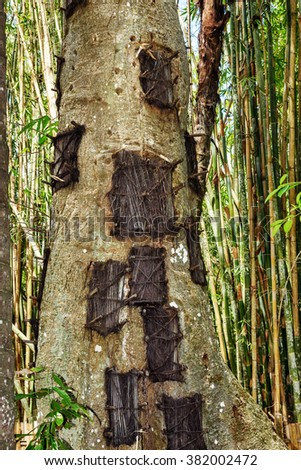 Kambira. Large old tree containing several baby graves. Some of them are more than 100 years old. Tana Toraja. South Sulawesi. Indonesia - stock photo