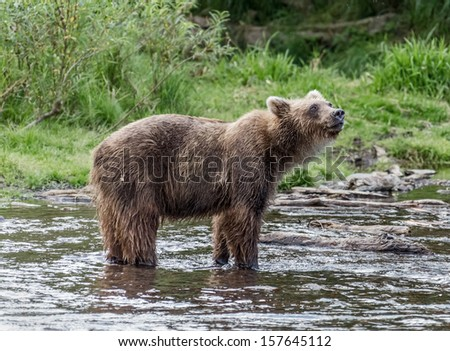 Kamchatka brown bear catches fish in the creek near the lake Dvukhyurtochnoe - Kamchatka, Russia