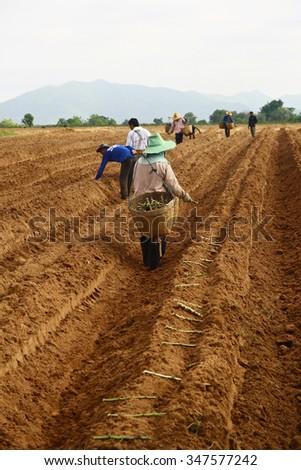 KANCHANABURI, THAILAND-JUNE 22: Unidentified peoples are planting cassava on June 22, 2010 in Kanchanaburi province, Thailand. - stock photo