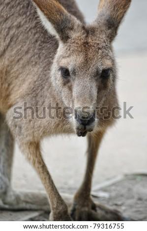 Kangaroo - stock photo