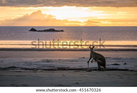 Kangaroo at Cape Hillsborough beach at sunrise, North East Australia - stock photo
