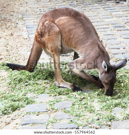 Kangaroo at the zoo eating