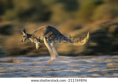 Kangaroo bouncing through desert - stock photo