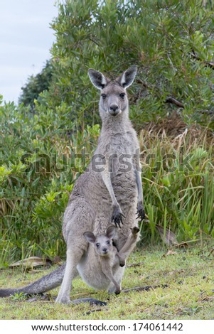 Kangaroo Female With a Baby Joey in Pouch - stock photo
