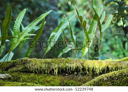 Kangaroo fern, Microsorum diversifolium, on moss covered log. Tasmanian rainforest - stock photo
