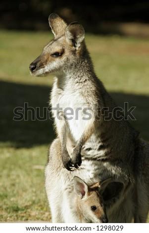 Kangaroo gazes into sun - stock photo