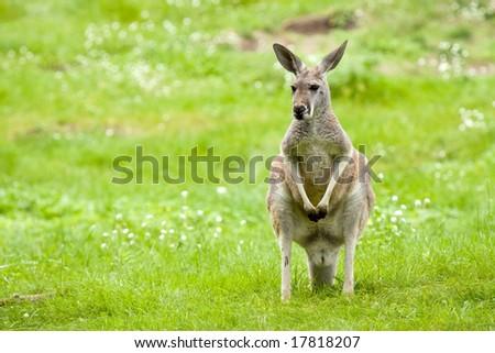 Kangaroo graze in a meadow - stock photo