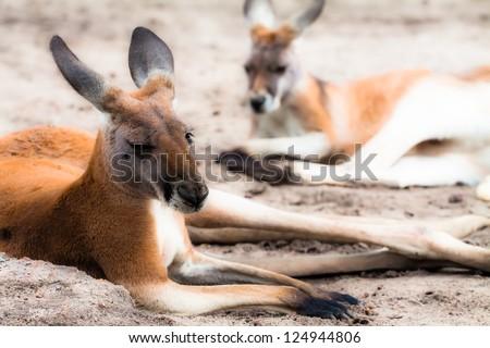 Kangaroo in Australia - stock photo