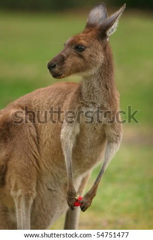 Kangaroo in the wild - stock photo