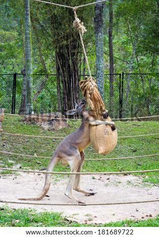 kangaroo in the zoo. - stock photo