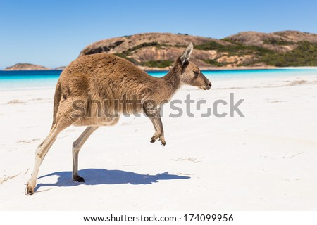 Kangaroo jumping on a pristine australian beach