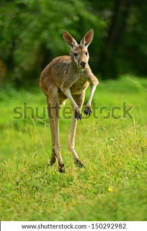 Kangaroo jumping on the green grass - stock photo