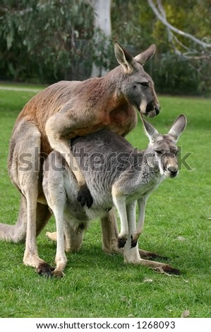 kangaroo mother and father - stock photo