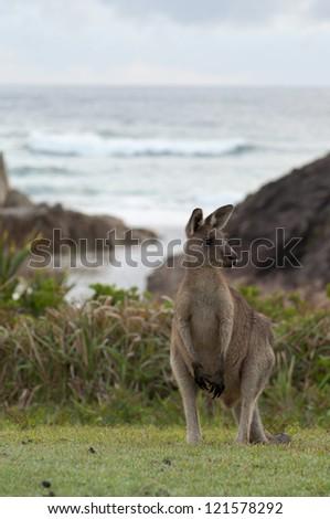 Kangaroo on a Beach - stock photo