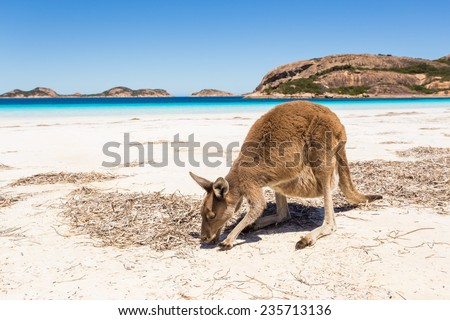 Kangaroo on a pristine western australian beach - stock photo