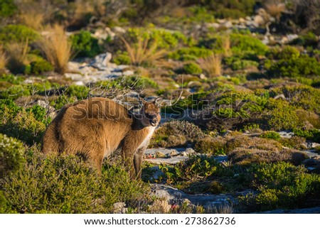 Kangaroo on Kangaroo Island, South Australia - stock photo
