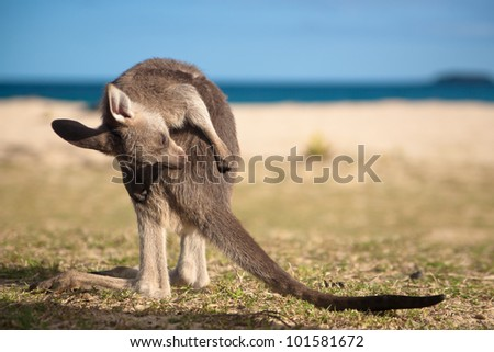Kangaroo on pebbly beach in australia - stock photo